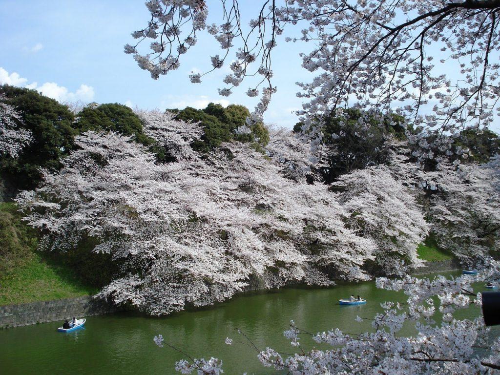 Blühende Kirschblüten in Tokio